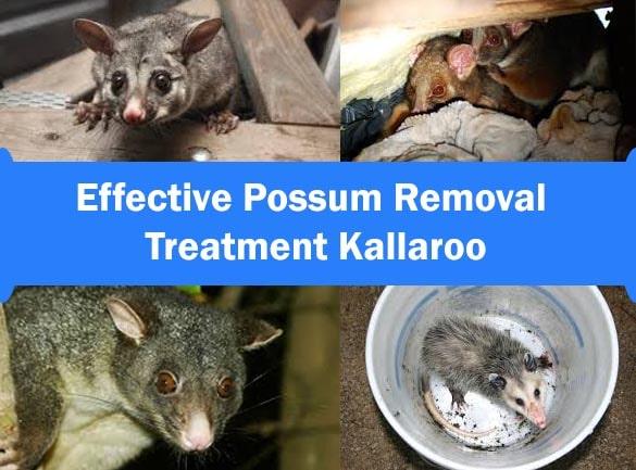 Effective Possum Removal Treatment Kallaroo