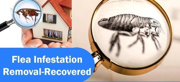Fleas Infestation Removal